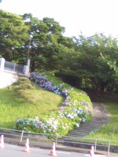 紫陽花の階段